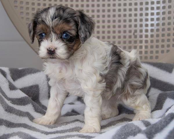 Our Puppies For Sale Puppies Puppies For Sale Puppy Friends