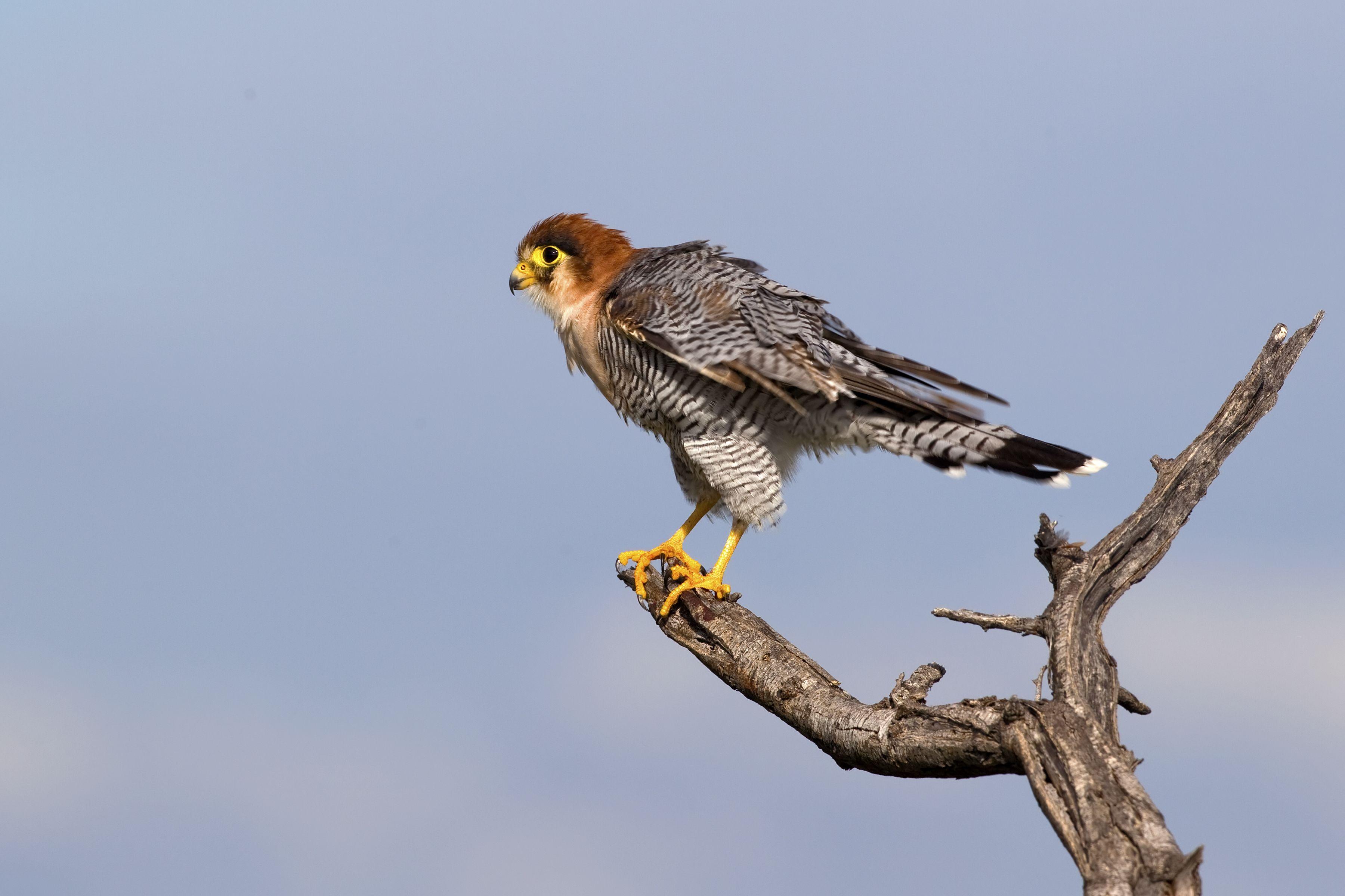 Red Necked Falcon Falco Chicquera