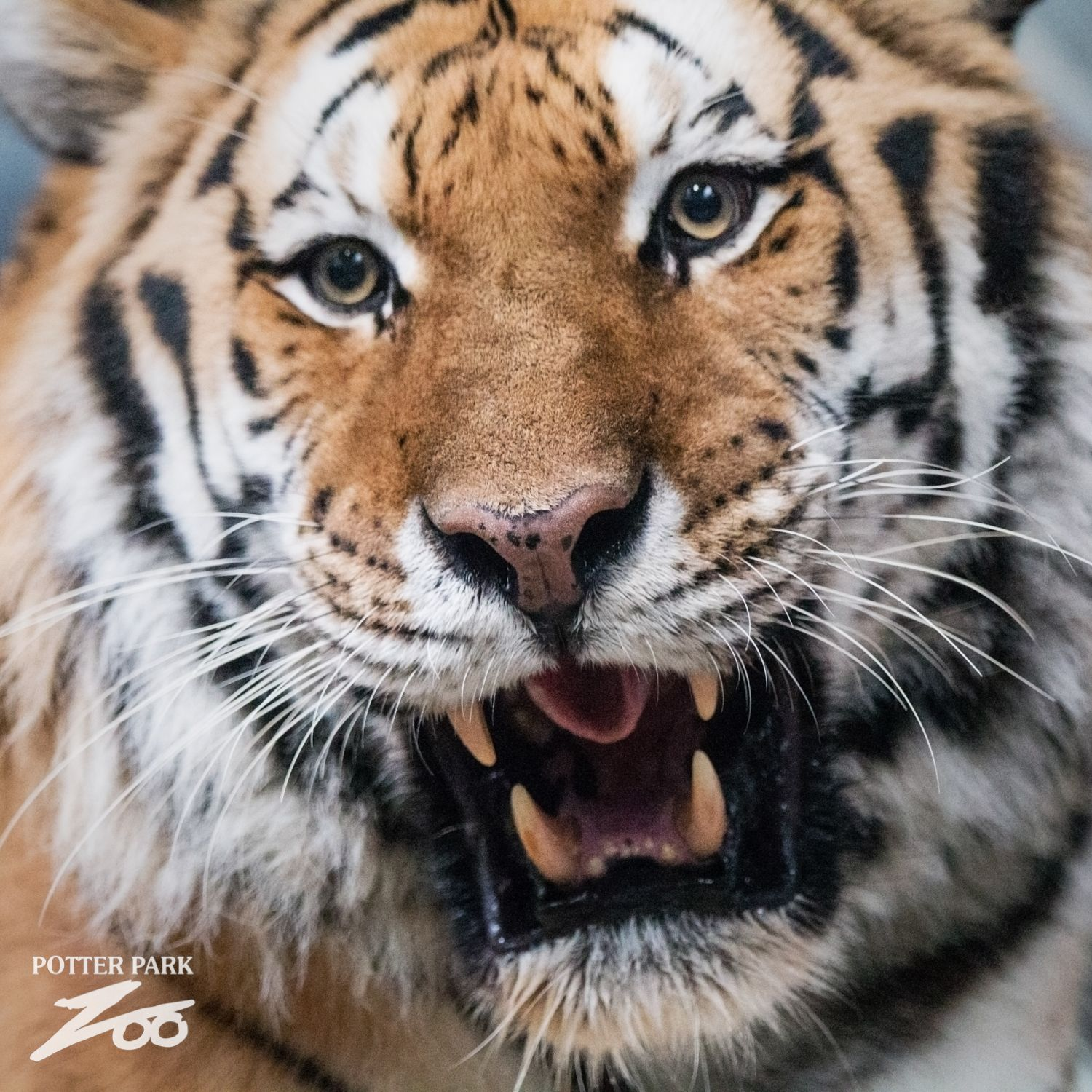 An amazing Amur Tiger at Potter Park Zoo in Lansing