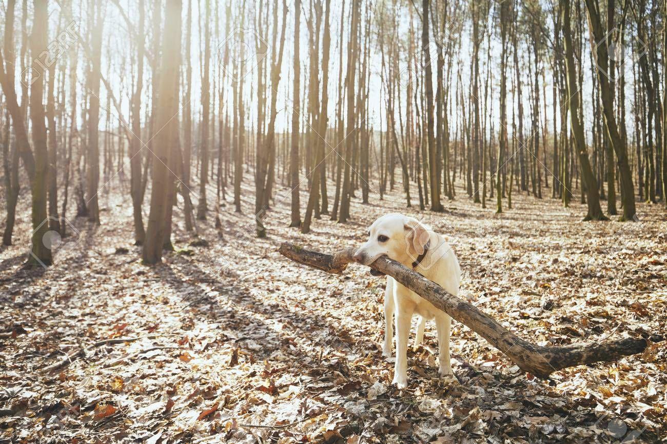 Playful Dog In Forest Labrador Retriever Biting Large Stick Stock Photo Ad Labrador Retriever Forest Playful In 2020 Forest Photos Dogs Retriever Puppy