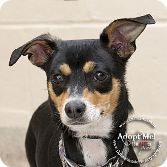 Troy Oh Chihuahua Dachshund Mix Meet Jack A Dog For Adoption