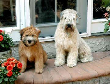 Soft Coated Wheaten Terrier Puppies For Google Search