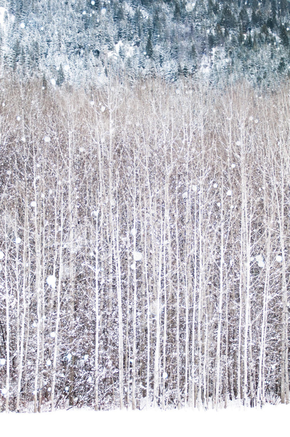Winter Photography Birch Trees In Snow Nature Photography Woodland Wall Decor Large Wall Art Winter Photography Woodland Wall Decor Snow