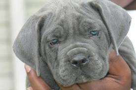 My Blue Eyed Baby Blue Eyed Baby Cane Corso Cane Corso Italian Mastiff