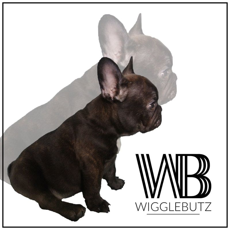 Vibe Wigglebutz French Bulldog Chocolate Triple Carrier