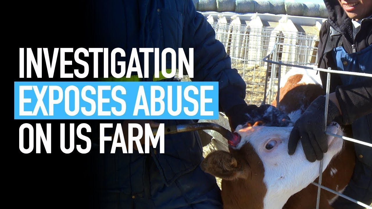 Undercover Investigation into US Calf Ranch Supplier of