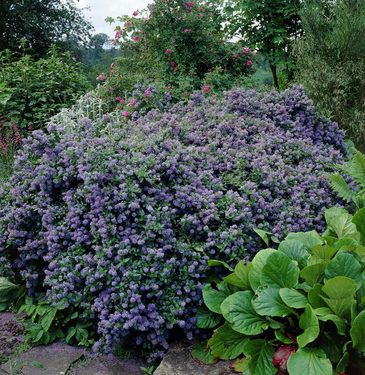 ceanothus impressus puget blue immergr n hecken str ucher pinterest pflanzen garten und. Black Bedroom Furniture Sets. Home Design Ideas
