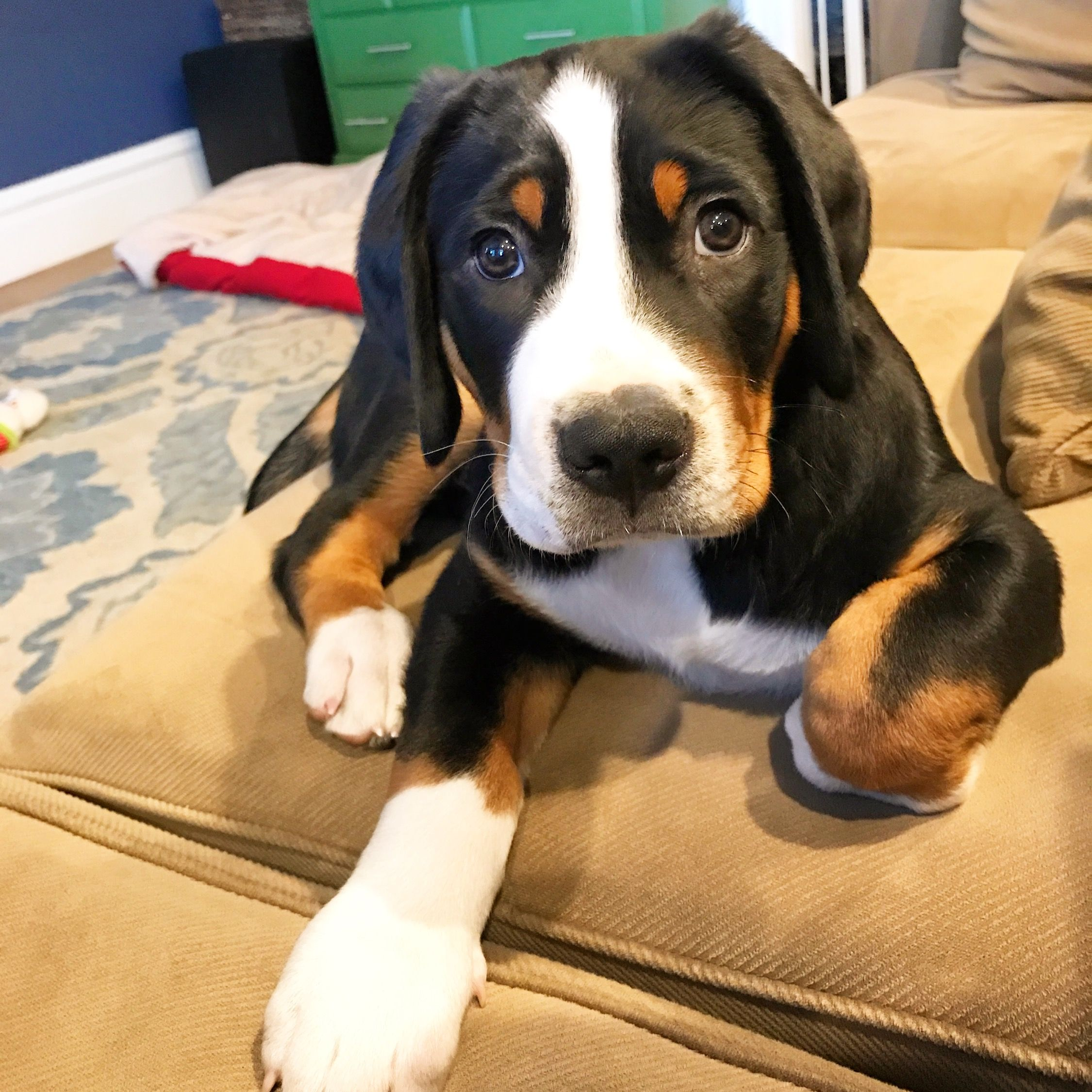 greater swiss mountain dog puppies - HD 2250×2250