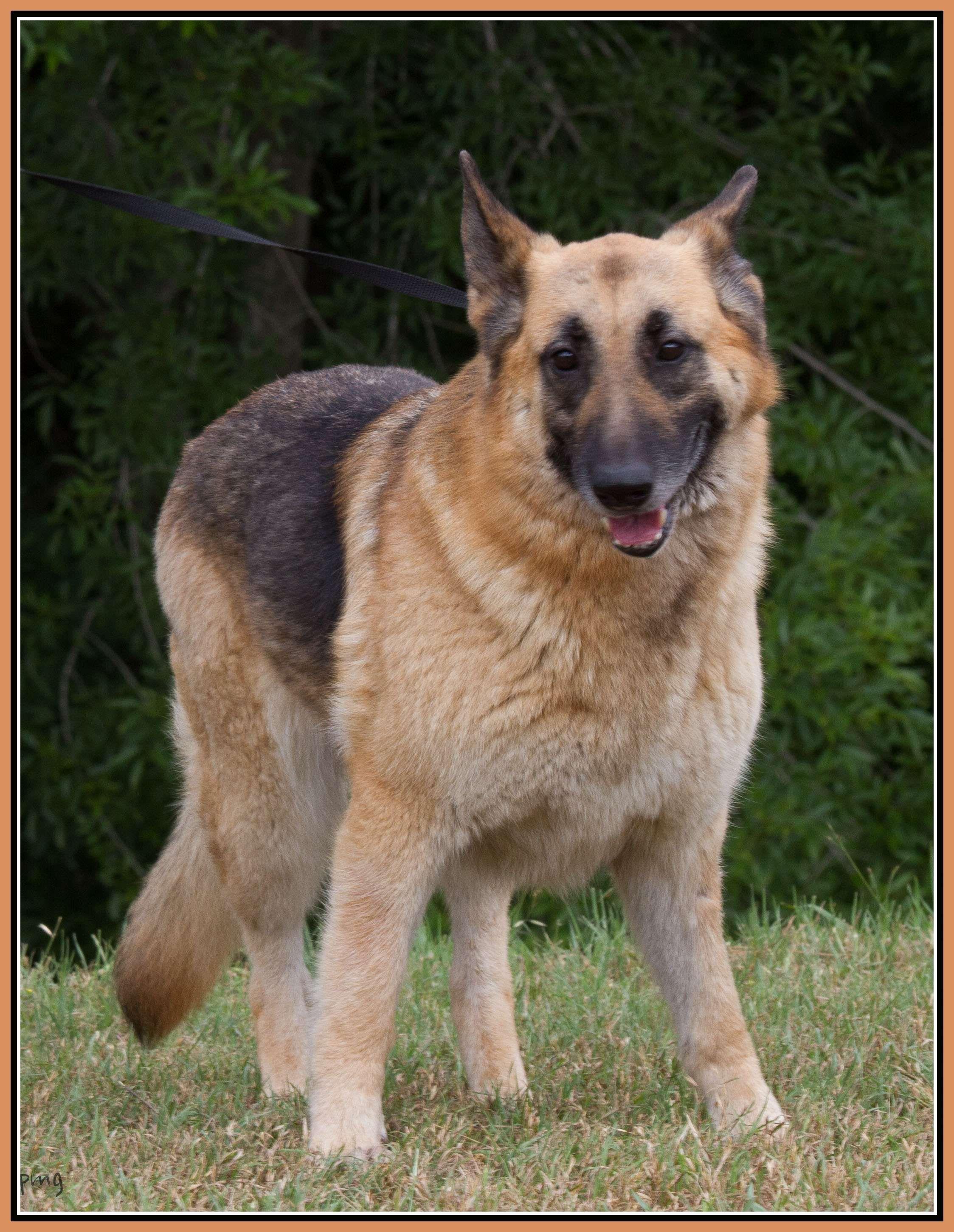 Senior German Shepherd Houston Spca Dogs German Shepherd Spca