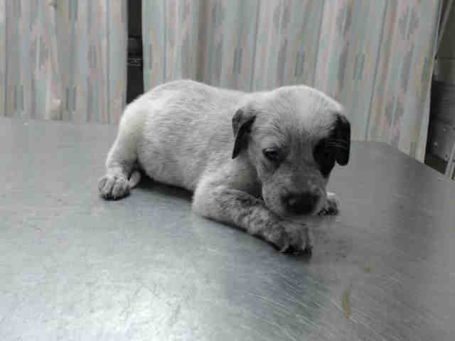 Houston This Dog Id A413558 I Am A Female White And Black Australian Cattle Dog Mix The Shelter Staff Think I Am Ab Dogs Beautiful Dogs Dog Id