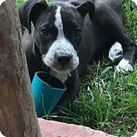Boxer/Labrador Retriever Mix Puppy for adoption in Albany
