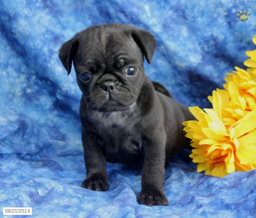 Pug Puppy for Sale in Pennsylvania Pug puppies, Black