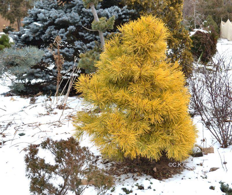 Pinus Sylvestris Wolting S Gold Garden Canadensis Ornamental