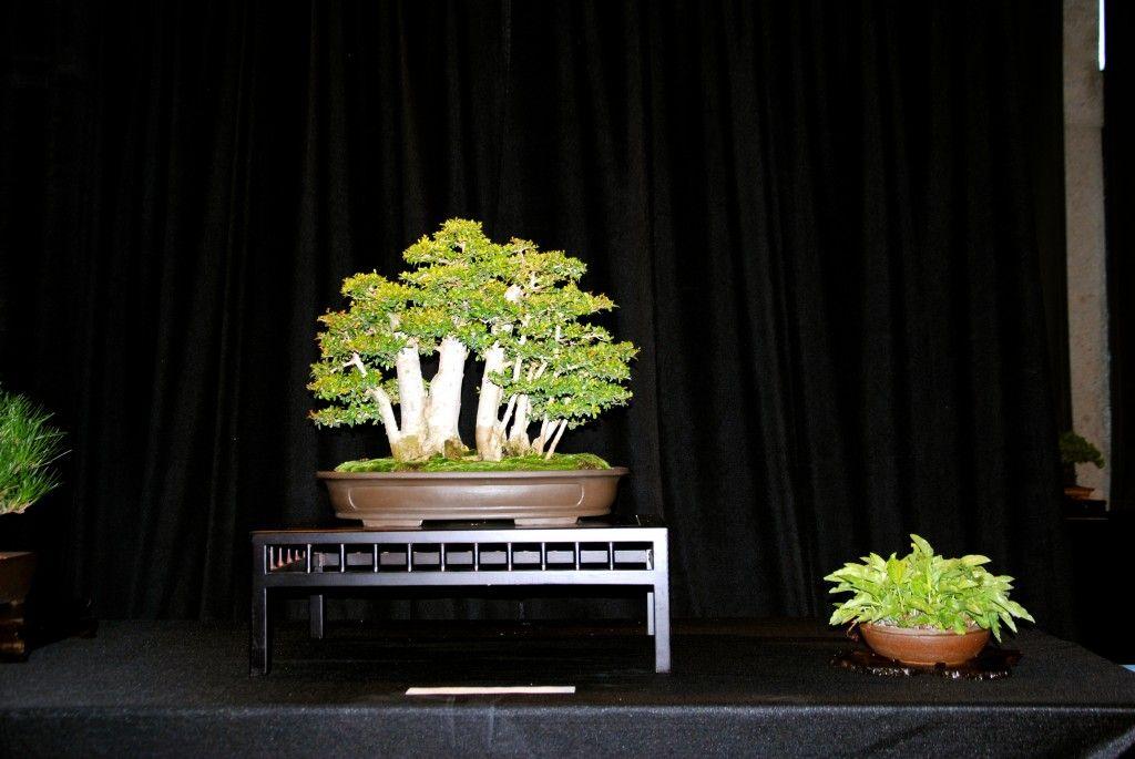 Nice Nea buxifolia grove (With images) | Bonsai