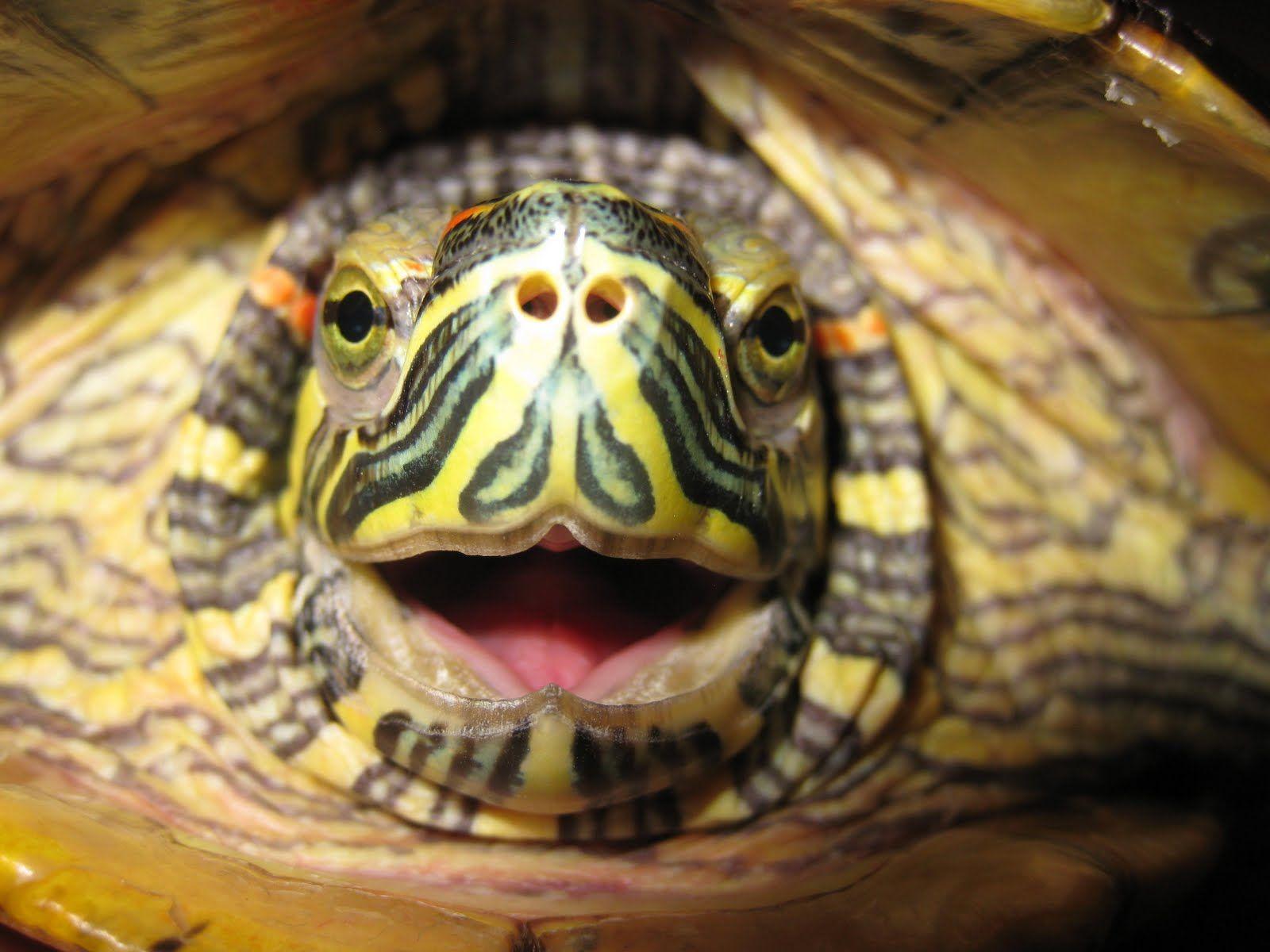 IMG_0071.JPG (1600×1200) Slider turtle, Red eared slider