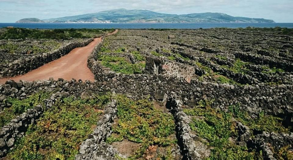 Vinhos brancos do Pico são os melhores de Portugal