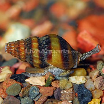 """Minimum Tank Size: 30 gallons  Care Level: Moderate  Temperament: Peaceful  Water Conditions: 68-74° F, KH 2-15, pH 6.5-7.5  Max. Size: 3""""  Color Form: Black, Orange  Diet: Omnivore  Compatibility: View Chart  Origin: Indonesia  Family: Pachychilidae"""
