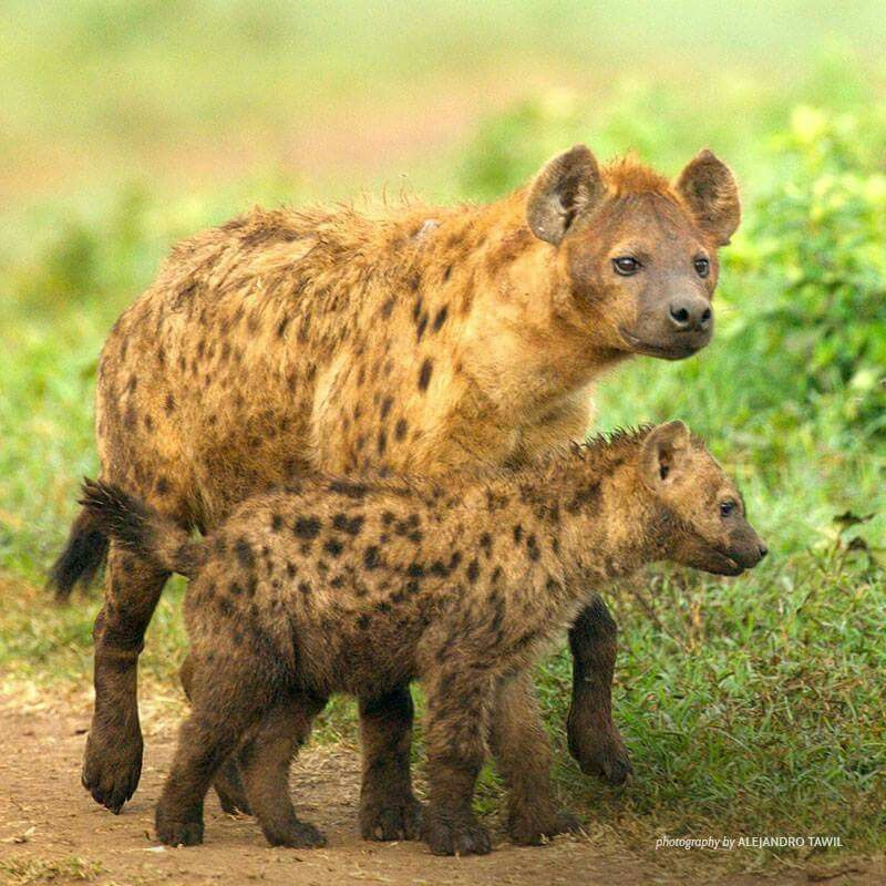 Hyenas- Were Once Thought To Be Hermaphrodites Not True -4775