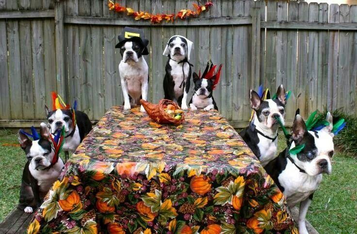 Happy Thanksgiving Boston Terrier Funny Boston Terrier