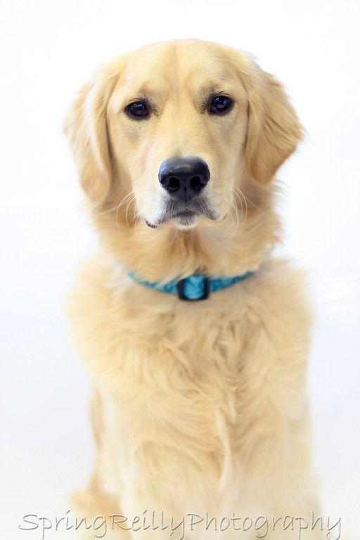 Www Springreilly Com Beautiful Dogs Dogs Golden Retriever
