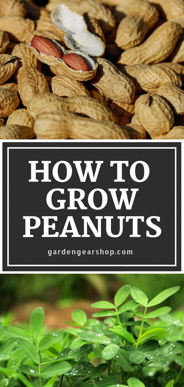Learn How to Grow Peanuts at Home Complete Guide