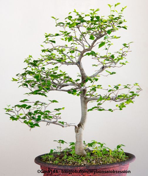 White Stinkwood Bonsai In Training Bonsai Bonsai Tree Bonsai Plants