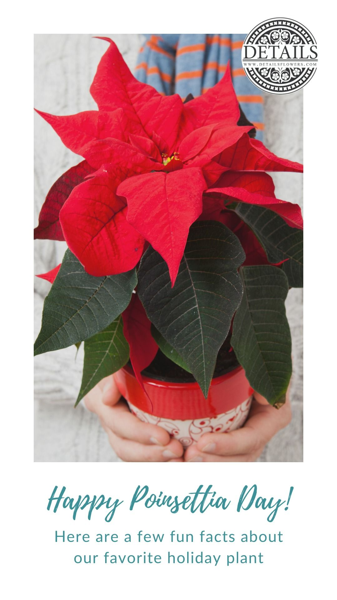 Poinsettia Facts Poinsettia Holiday Holiday Season