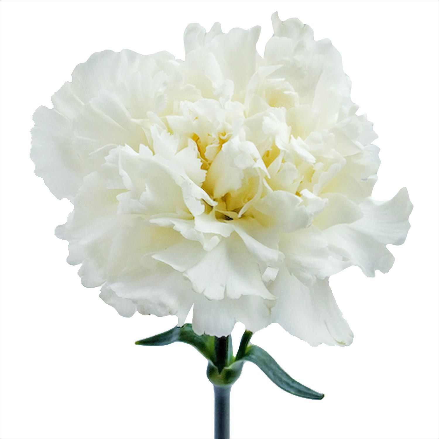 Carnations White 200 Stems Sams Club Mom And Dads 50th