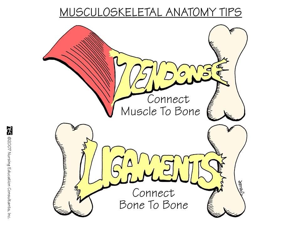 ligaments vs tendons med surg pinterest nursing mnemonics