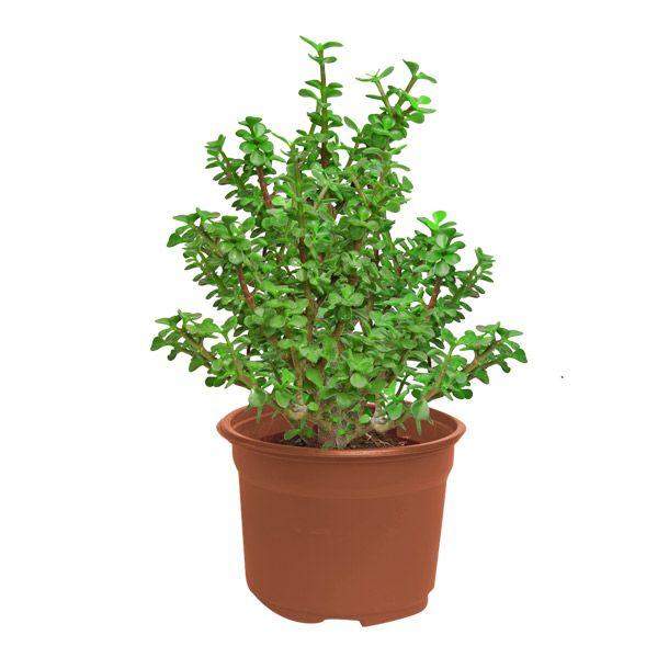 arbol de la abundancia planta de media sombra. riego 1 vez por