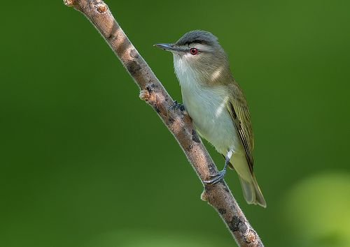 Red-eyed Vireo | Nikon D500 Thanks for the visit,and the com… | Flickr