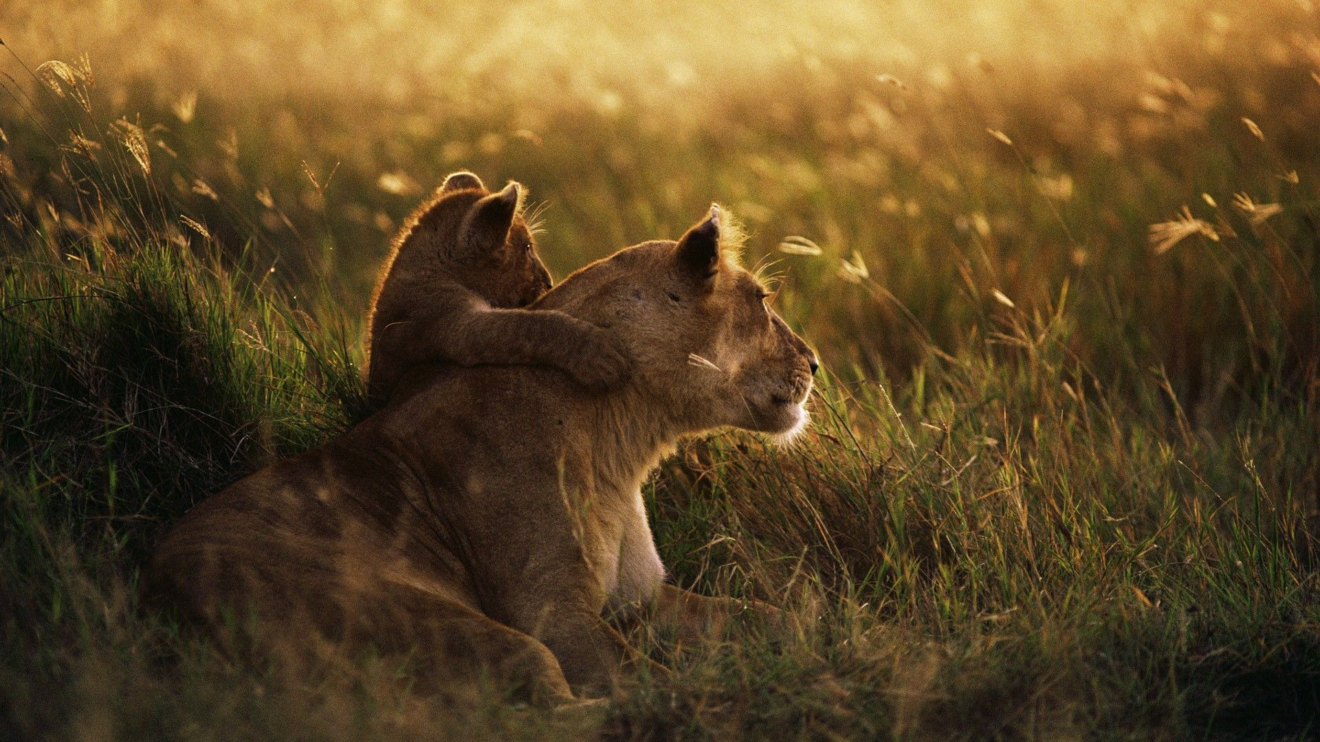 dawn animals grass fields mother African lions Tanzania National Park Serengeti  / 1920x1080 Wallpaper