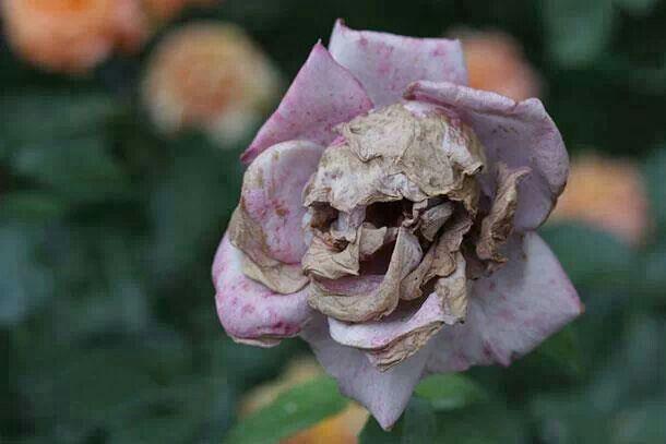 100 Pcs Seeds Death Rose Bonsai Plants Species Snapdragon Flowers Garden NEW T O