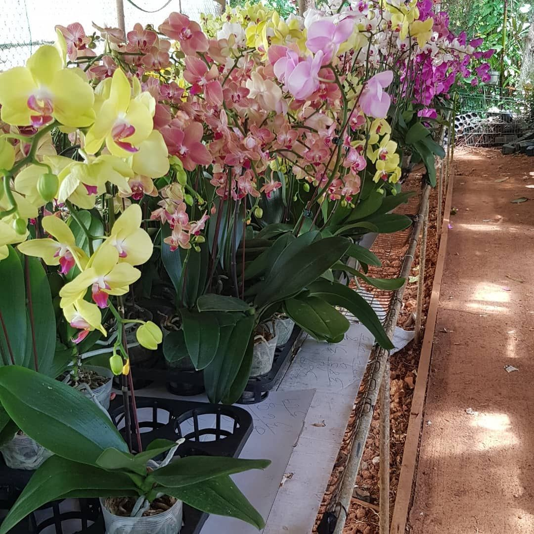 Orchids At My Local Nursery Guam Gpf Corperations Orchid Orchids Flowers Colorfulflowers Local Plant Nursery Ornamental Plants Orchids