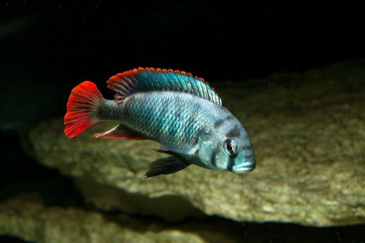 Haplochromis Sp Blue Obliquidens Tropical Fish Aquarium African Cichlids Aquarium Fish
