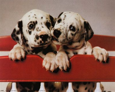 dalmations | Dalmations Pictures