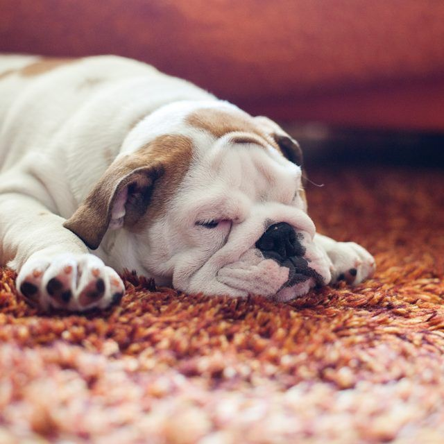 What To Spray On Carpet To Keep Dogs From Peeing Pets