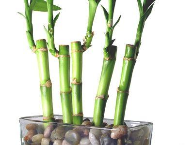 Diy Asian Decor Cool House Bamboo House Plant Lucky Bamboo