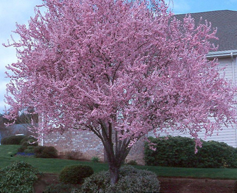 Purple Leaf Flowering Plums In 2021 Ornamental Trees Plum Tree Flowering Plum Tree