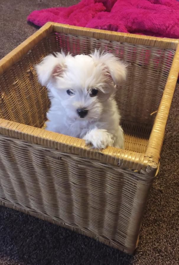 Maltese Puppy In Piketon Ohio Hoobly Classifieds Puppies