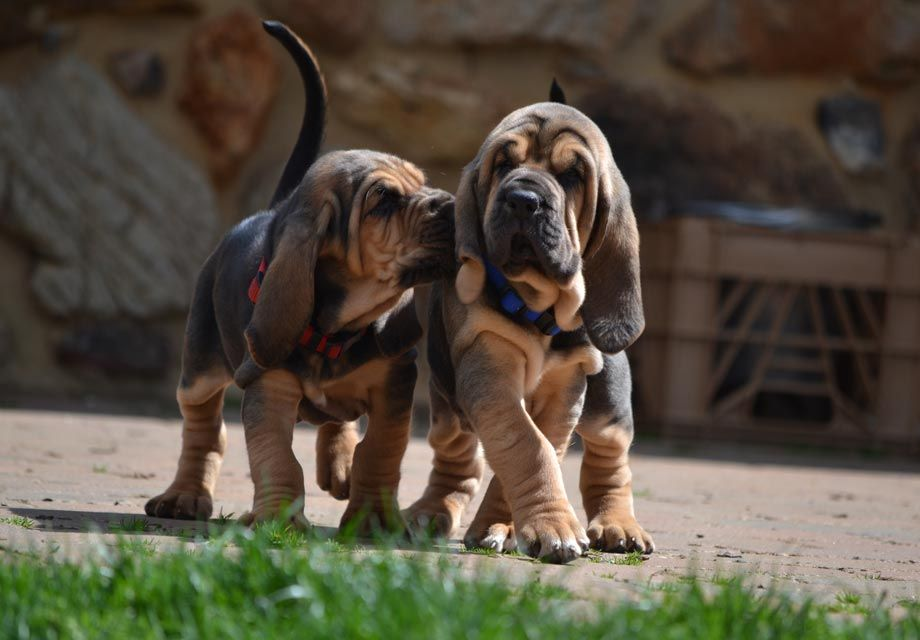 Bloodhound Puppies For Sale Akc Puppyfinder Dog Breeds Smartest Dog Breeds Bloodhound Puppies