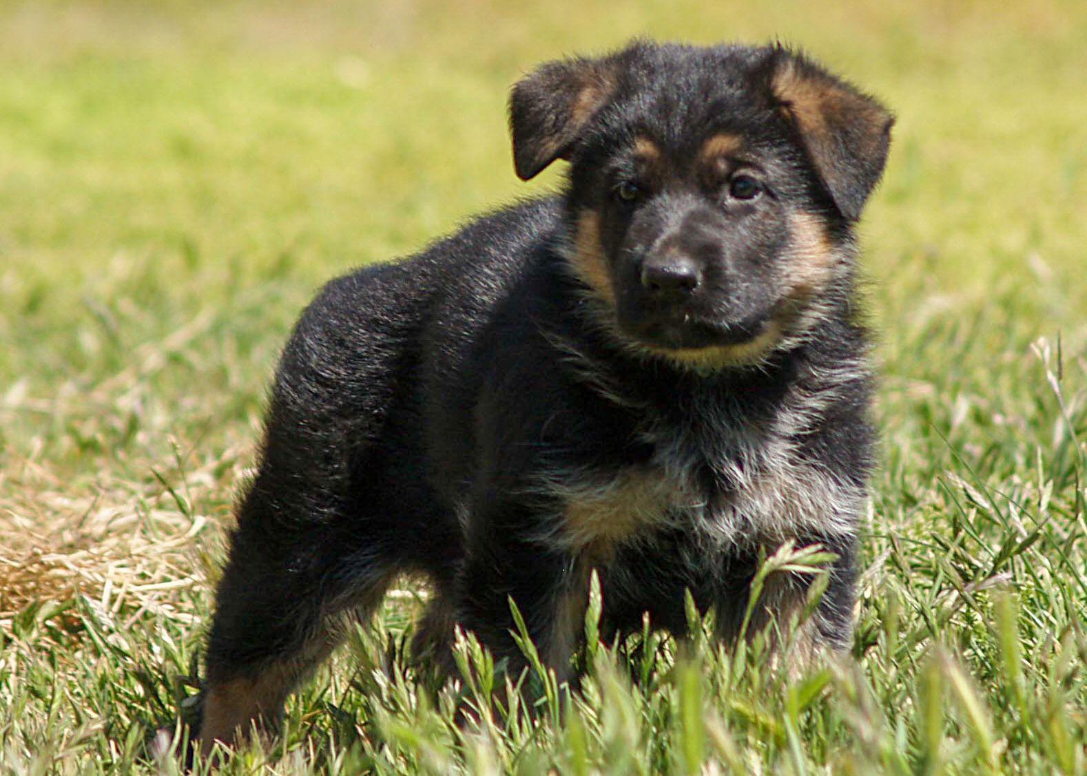 Vom Vollkommen German Shepherds In Amarillo Tx Is Dedicated To Producing Beautiful German Shep In 2020 German Shepherd Puppies German Shepherd Kennels German Shepherd