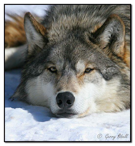 Сделать, картинка про волков с надписями
