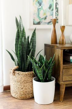 Snake plants are easy to care for filter the air and can survive in low light