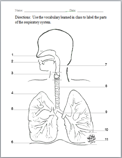 respiratory system pinterest worksheets respiratory system and school. Black Bedroom Furniture Sets. Home Design Ideas