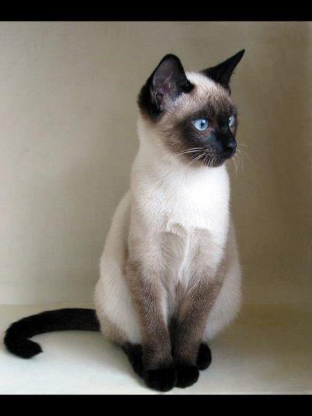 Как выглядит сиамская кошка — показано на фото в 2020 г ...