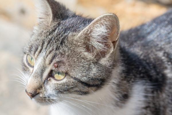 6 Remedios Caseros para ELIMINAR Garrapatas en Gatos – Muy Efectivos
