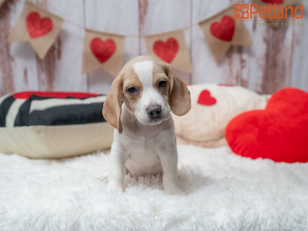 Petland Florida Has Beagle Puppies For Sale Check Out All Our Available Puppies Beagle Puppy Doglover Adorable Dog In 2020 Puppy Friends Beagle Puppy Puppies