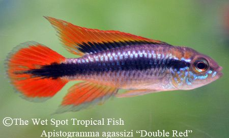 Apistogramma Agassizi Double Red Cichlids Fish Pet Tropical Fish