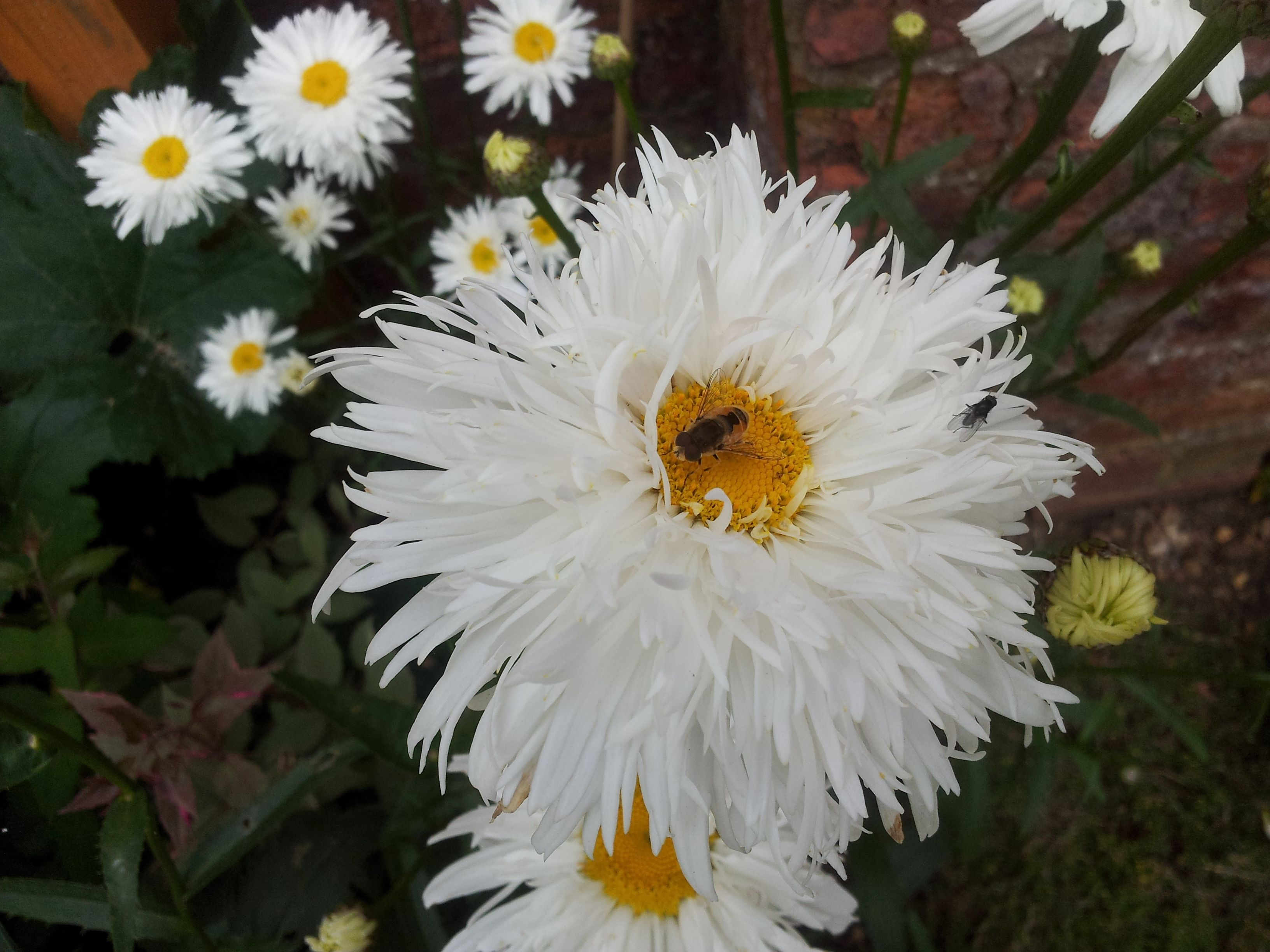 Hover fly on white daisy like flower must find the proper name hover fly on white daisy like flower must find the proper name izmirmasajfo